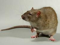 Крыса серая